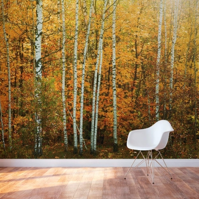 Autumn Birch Tree wall mural